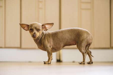 Little pinscher ratter prazsky krysarik crossbreed small dog playing walking on floor indoor.