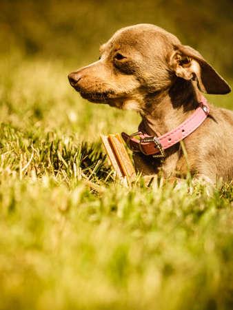 Little pinscher ratter prazsky krysarik crossbreed small dog playing outside on grass during summer spring weather