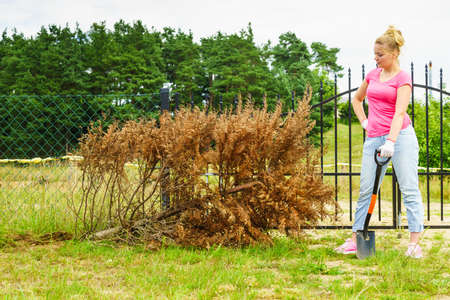 Woman gardener removing withered dried thuja tree from her backyard. Yard work around the house Stockfoto - 128567996