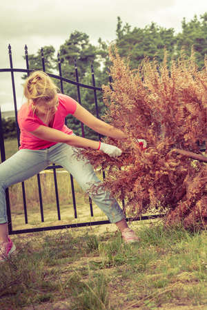 Woman gardener removing and pulling withered dried thuja tree from her backyard. Hard yard work around the house