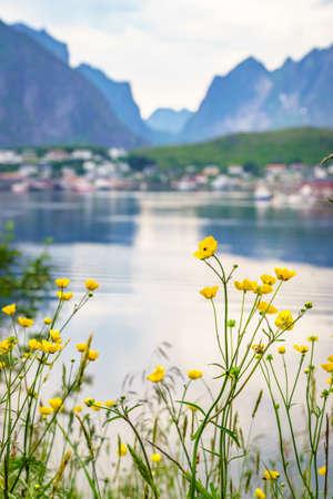 Fjord coast landscape. Spring flowers and typical norwegian fishing village, Reine Lofoten islands, Norway. Travel destination.