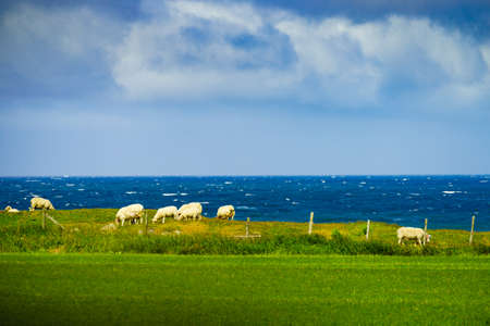 Sheeps grazing on green meadow. South Norway, coast landscape.