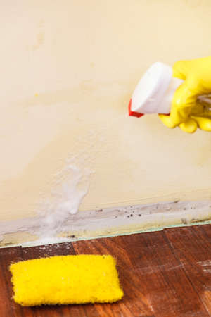 Person applying, spraying walls using antifungal agent, fungicide detergent dealing with mold in flat Stok Fotoğraf