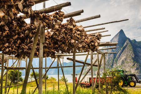 Cod stockfish drying on racks, Lofoten islands. Industrial fishing in Norway.