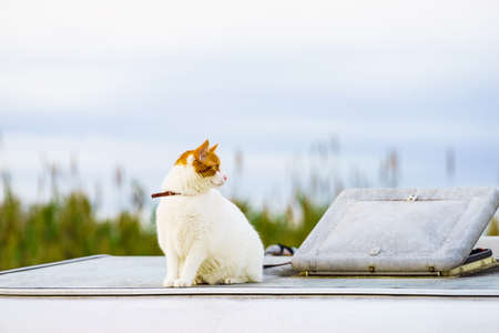 White cat on roof of camper vehicle. Motorhome traveling with pet. 版權商用圖片