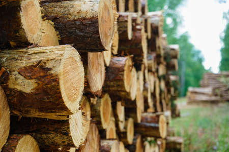 Timber logging in forest. Freshly cut tree wooden logs piled up. Wood storage for industry. 版權商用圖片
