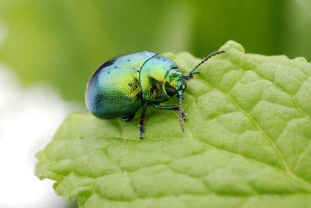 Cetonia aurata on green leaf