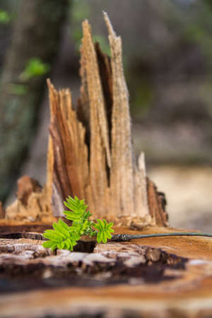 tender: Old rotten stump and tender sprout sapling