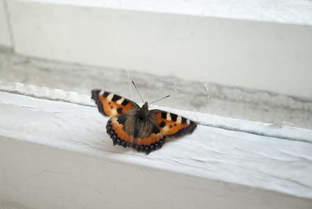 pokrzywka: Motyl na okna