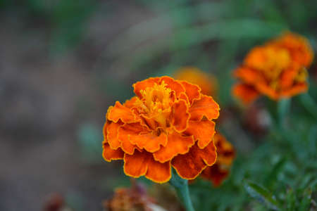 The Beautiful French Marigold Stock Photo