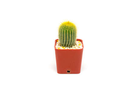 This cactus is named for Guillermo Leninghaus a Brazilian collector. Transferred to Parodia in 1982 by Brandt. Initially this plant was included in Pilocereus in 1895, and has over the years been in the genera Malacocarpus & Eriocactus. Stock Photo