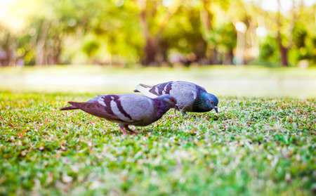 Pigeons in the park make a cute couple