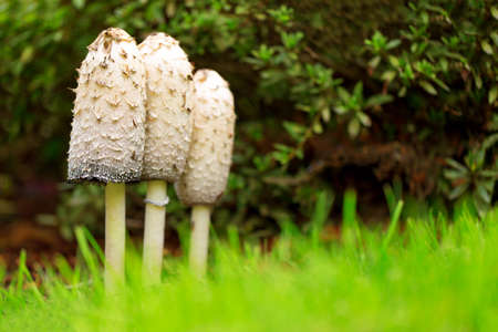 Group of three Shaggy Ink Caps (Coprinus comatus)
