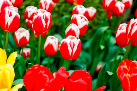Beautiful Merry widow tulips blooming in spring. Scagit Valley Tulip Festival in Washington.