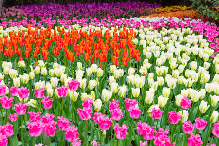 purple princess tulip field of colorful tulips rich yellow bowl shaped fidelio tulips