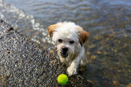 stone lion: Cute Little Shih Tzu Dog with ball on the beach, fetching a ball from the sea.