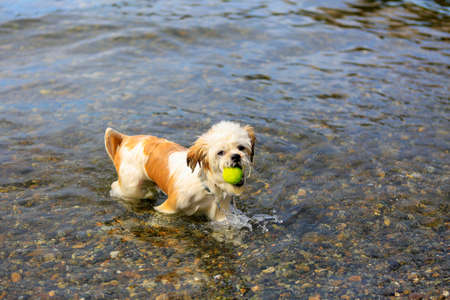 Wet Little Shih Tzu Dog fetching a tennis ball from the water, having fun on the beach.