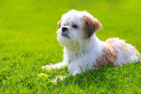 Outdoor Portrait of a adorable Shih Tzu Dog lying with a tennis ball on the grass.