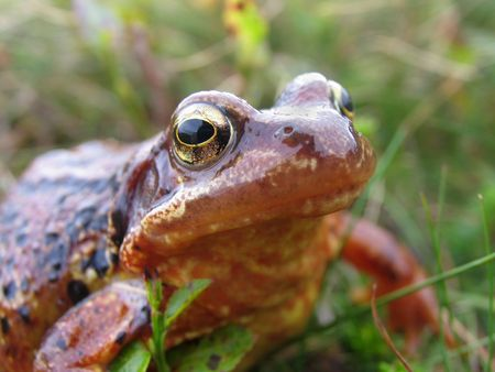 peaty: Frog macro - common frog with unusual peaty colour in skin