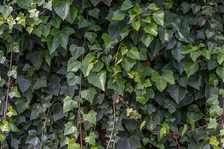 Wall background full of ivy, green vine plant