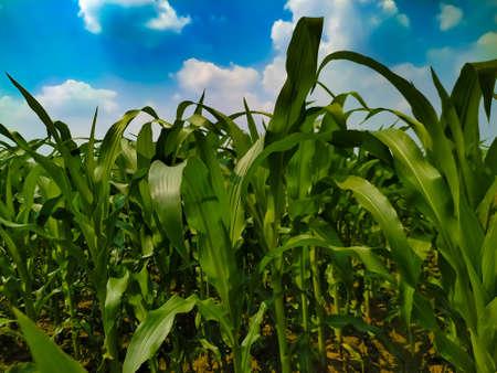 Corn flower tassel sway in the late summer breeze. Green corn field Foto de archivo