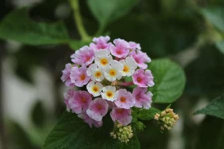 lantana: lantana flower
