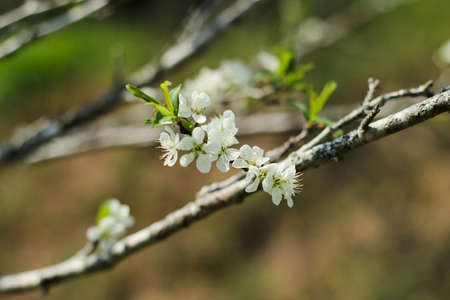 Blossoming tree branch with white flowers photo
