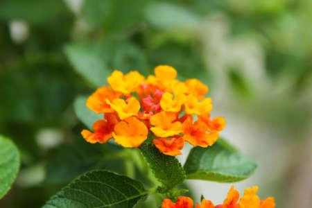 lantana: orange Lantana flowers blossom