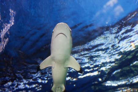 reef shark gliding overhead Stok Fotoğraf