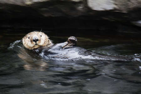 sea otter: sea otter backfloating and staring