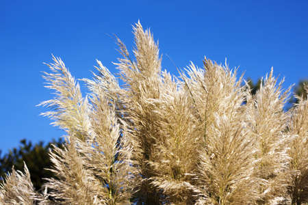 conservatory: golden feathery foliage at public park