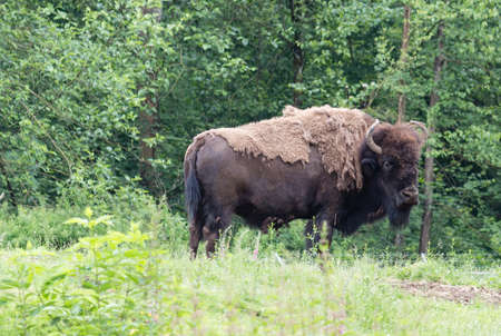 an american bison in the woods