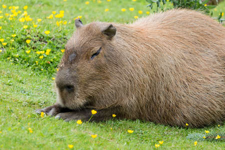 critter: a capybara relaxing in the grass