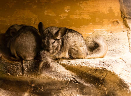 snuggling: some chinchillas snuggling on a ledge