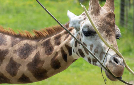 a giraffe peacefully chewing leaves Stock Photo