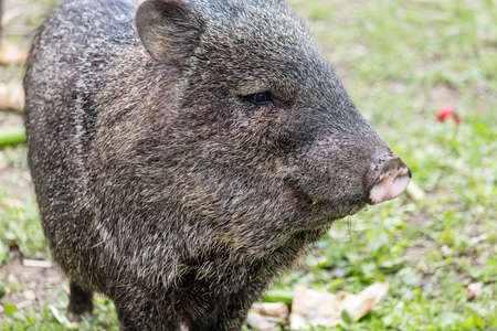 a peccary out for a stroll