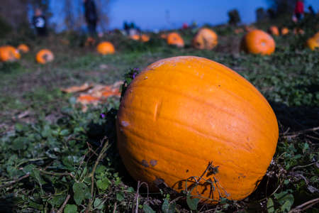 sincere: a nice sincere pumpkin patch