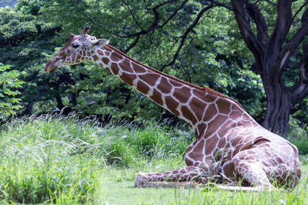 lovely and limber giraffe seated languidly