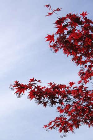 leafed: Red leafed tree profile
