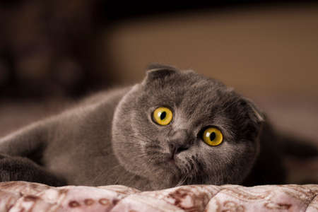 scottish fold cat with orange eyes lying on gray textile sofa at home