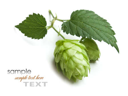 hops: hops isolated on a white background