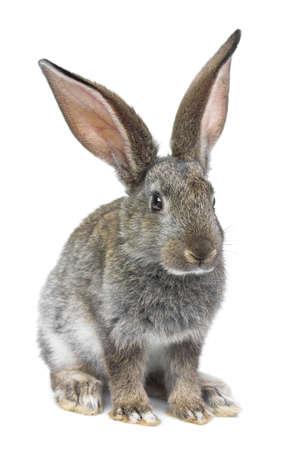 lapin blanc: lapin gris isol� sur fond blanc Banque d'images