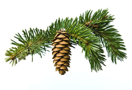 The branch of spruce and pine cone on white background
