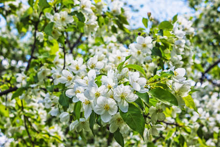 Blossoming apple tree in spring in the garden photo