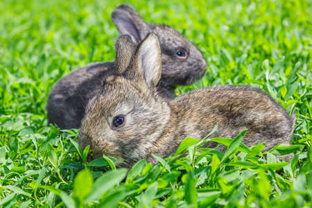 Little gray rabbit sunny day on the green lawn photo