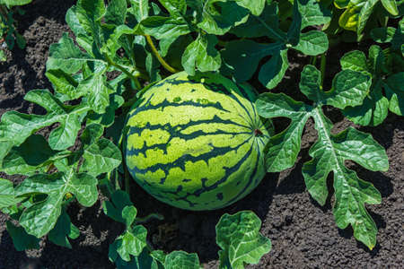 Watermelons on the green watermelon plantation in the summer