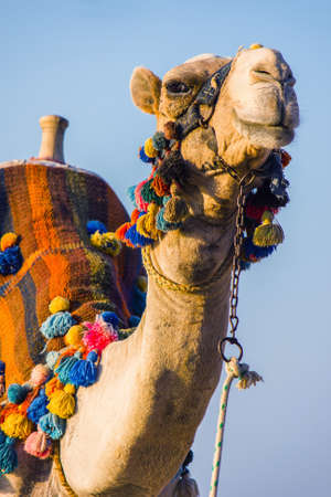 camel in desert: The muzzle of the African camel close-up Stock Photo