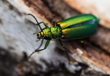 cantharis: cantharis lytta vesicatoria, green beetle on a birch stump
