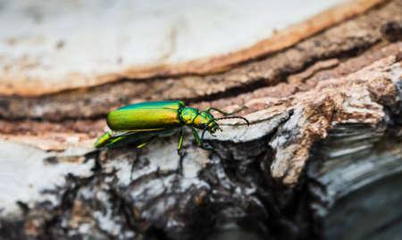 cantharis: cantharis lytta vesicatoria, green beetle on a birch stump