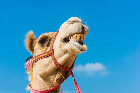 The muzzle of the African camel close-up Stock Photo
